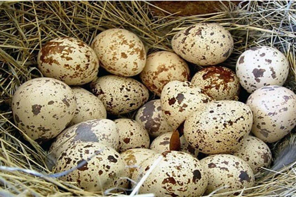 Перепелиные яйца на сене