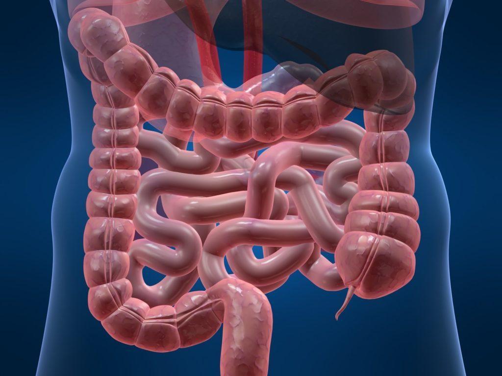 Схематичное изображение кишечника